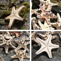Mini Knobbly Starfish